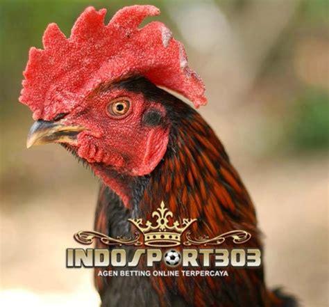 Obat Tradisional Stamina Ayam Bangkok lima jamu rahasia botoh tua untuk ayam bangkok