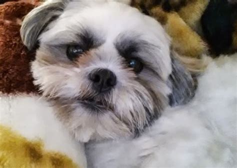 shih tzu yorkie mix hypoallergenic shih tzu with curly hair maltese shihtzu shih tzu breed information pictures