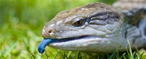blue tongue blue tongued skink lehigh valley zoo