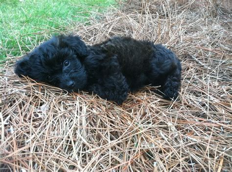 raising a yorkie poo the 25 best yorkie poo puppies ideas on yorki poo yorkie poodle and