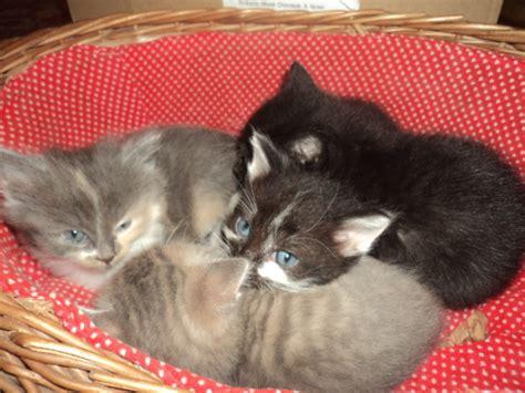 Gratis Kittens Aangeboden | kittens aangeboden afbeeldingen kittens aangeboden