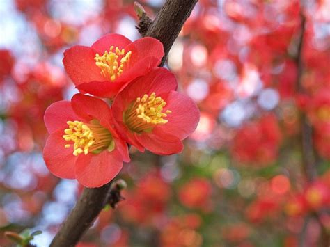garden flowers the japanese quince thorny but beautiful