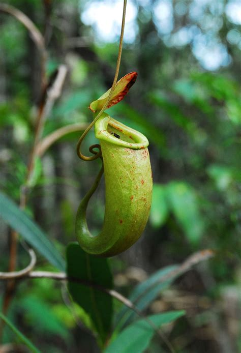 with pictures in nepenthes bellii