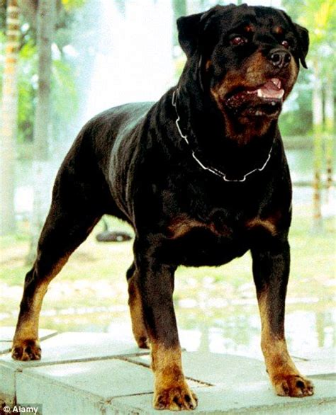 rottweiler to attack rottweiler attack www pixshark images galleries with a bite