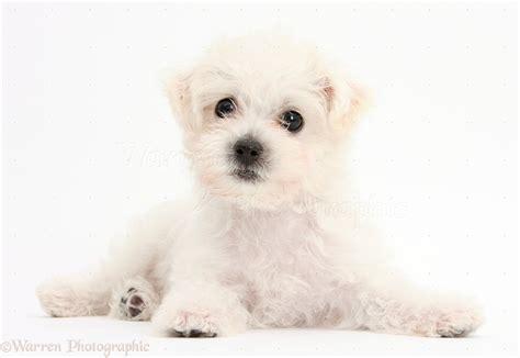white yorkies puppies white bichon x yorkie puppy photo wp38681