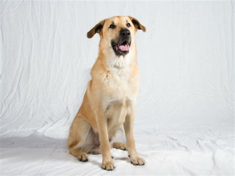 chinook puppy 7 interesting facts about the chinook breed american kennel club
