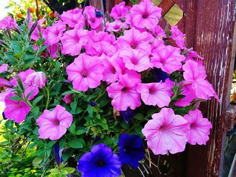 immagini di fiori e piante 10 piante da esterno e tipi di fiori resistenti al freddo