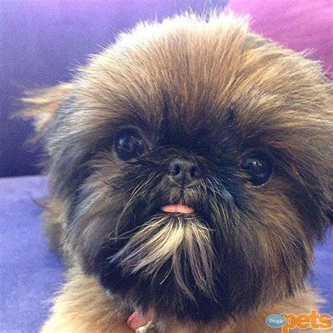 shih tzu ewok haircuts 688 best our dog max and other brussels griffons images on