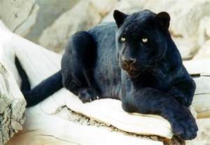 what color is a panther black panther the of animals