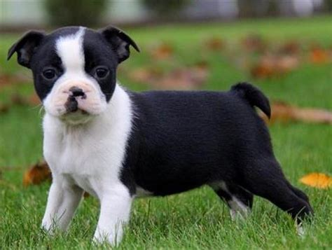 boston terrier puppies for sale in indiana mini boston terrier puppies indiana go search for tips tricks cheats