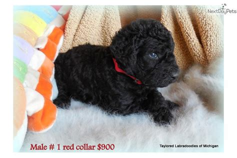 puppies for sale in muskegon mi labradoodle puppy for sale near muskegon michigan b58fb748 2541