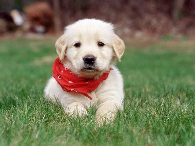 13 week golden retriever puppy cats golden retriever puppy pictures