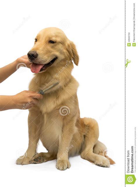 best brush golden retriever brushing golden retriever stock photo image 42843750