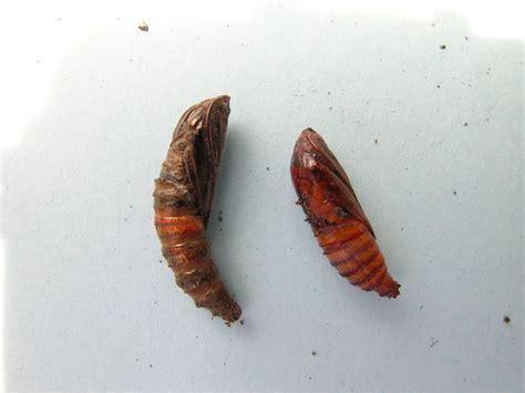 pests bc tree fruit production guide