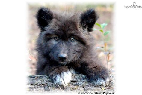 black wolf hybrid puppies for sale black wolf puppies