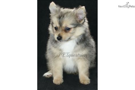 puppies for sale in grand forks nd wolf pomeranian puppy for sale near grand forks dakota