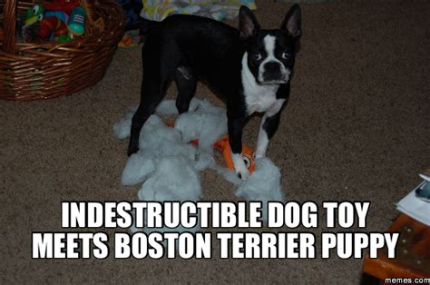 Boston Terrier Meme - indestructible dog toy meets boston terrier puppy