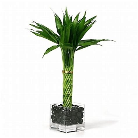 lucky bamboo arrangement elegant twist lucky bamboo from easternleaf com