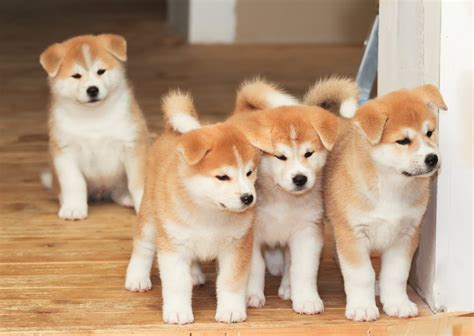 akita inu puppy 18 most overrated breeds you can own