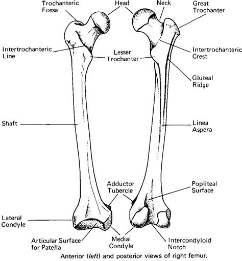 femur bone diagram biology diagrams images pictures of human anatomy and