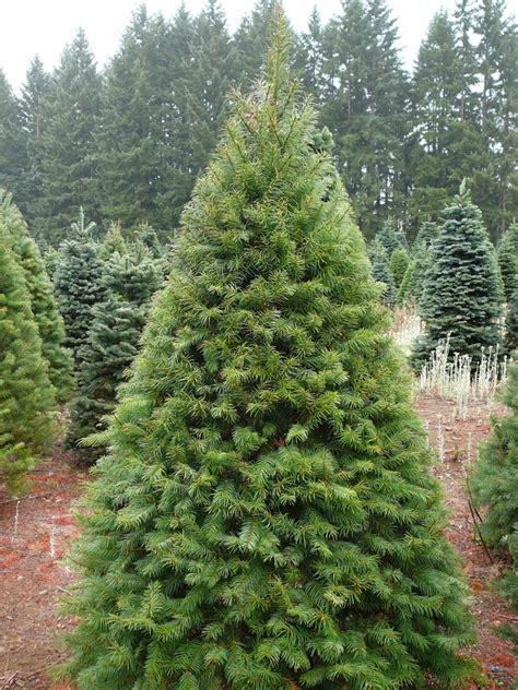 Fraser Fir Tree - premium fraser fir abies fraseri jakins trees