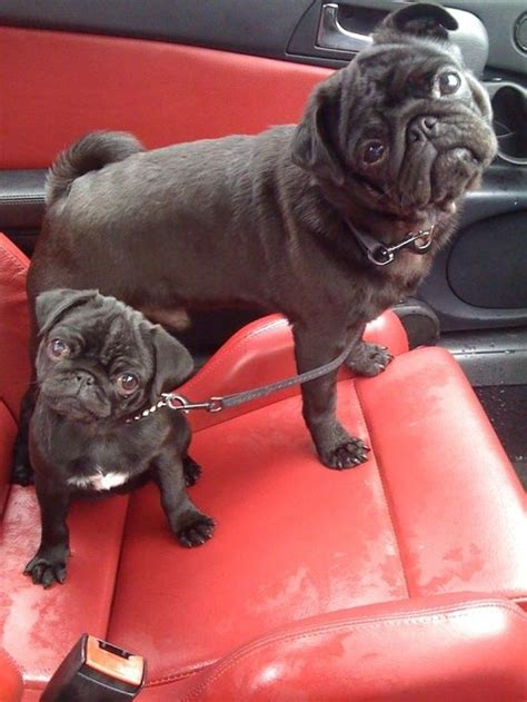 i want a pug so bad 187 best pug litious images on doggies fluffy pets and adorable animals