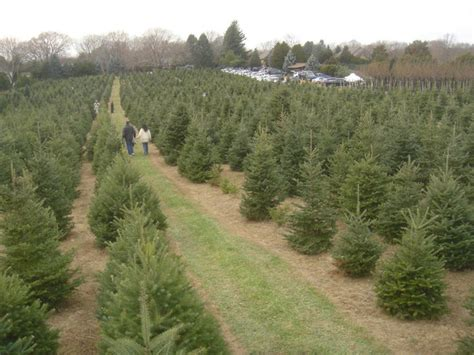 christmas tree traditions on the north fork north fork