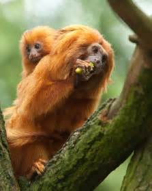 where did the golden live national aquarium golden tamarin