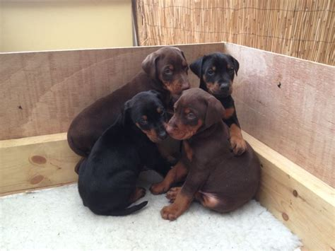 doberman puppies for sale in black and doberman puppies for sale quotes