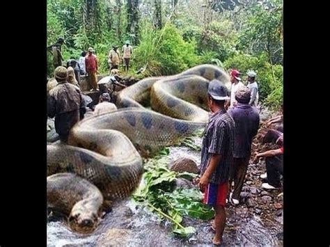 youtube film india ular download video biggest snake in the world ever recorded