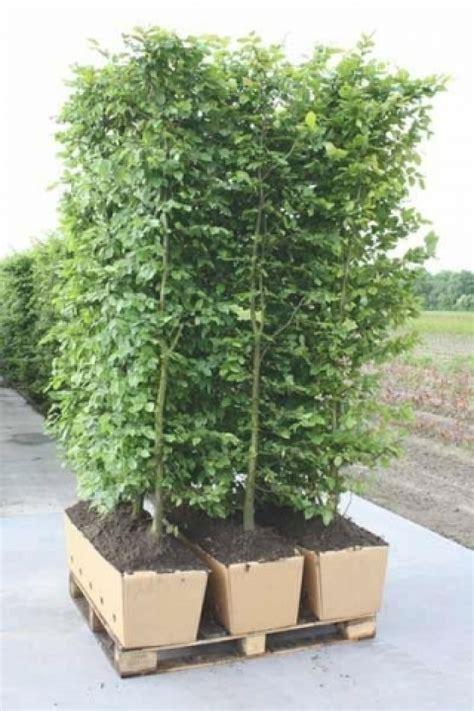 Pflanzen Als Sichtschutz Für Terrasse by Sichtschutz Garten Pflanzen Immergrun Spinjo Info