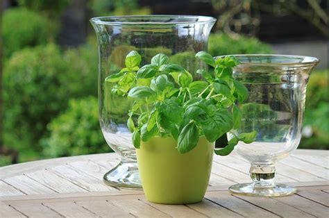 semina basilico in vaso basilico in vaso aromatiche basilico in vaso