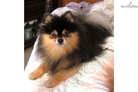 pomeranian near me pomeranian puppy for sale near birmingham alabama 082ce433 0ce1