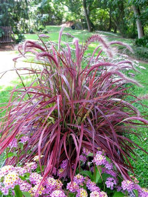 part shade pennisetum setaceum purple fountain grass perennial hardiness zones 8 through 11