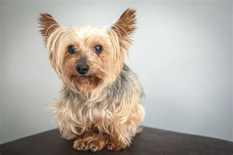 yorkie wallpaper for walls yorkshire terrier wallpapers animal hq yorkshire terrier