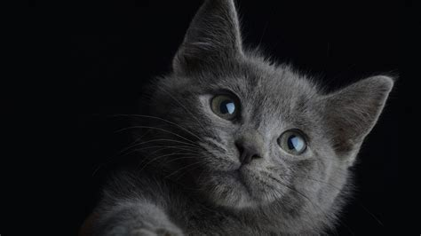 cat wallpaper grey 30 beautiful cute gray kittens