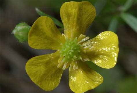 State Flower Of New Jersey Buttercup Flowers Search In Pictures