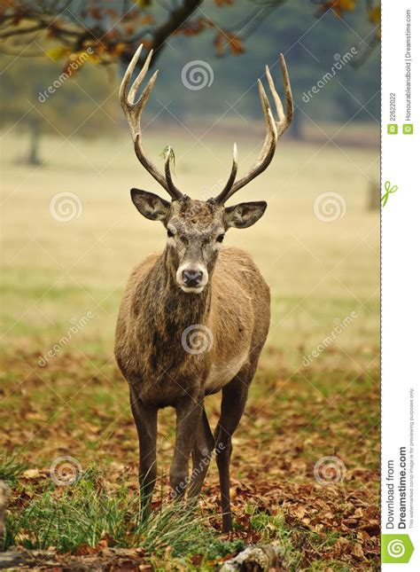 portrait  adult red deer stag  fall stock photography