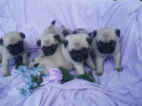 heavenly pugs of indexpage