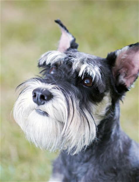 dogs with beards 6 breeds with beards american kennel club