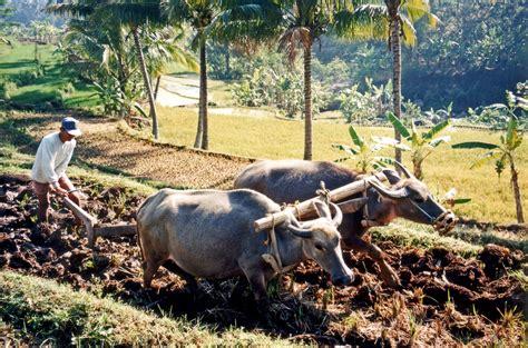 water buffalo ploughing rice fields  salatiga central