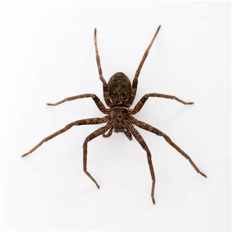 Dreams About Spiders Falling From The Ceiling by Spider Spirit Animal Totem Meaning