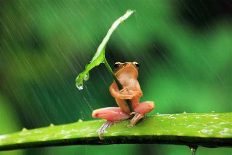 cute rain hd wallpaper 127649 frog animals nature rain leaves shields humor
