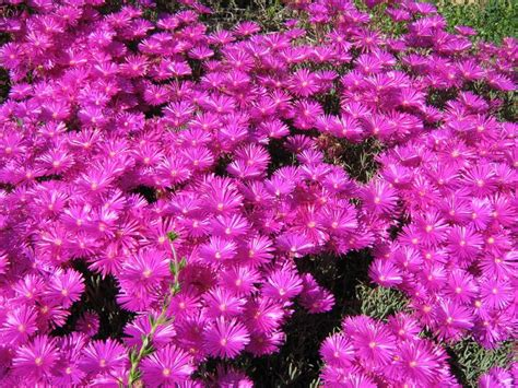 bright color ground cover the picture i took pinterest