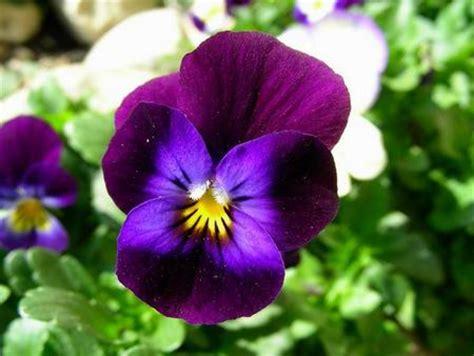 viole fiori immagini dillo con un fiore denittis1a