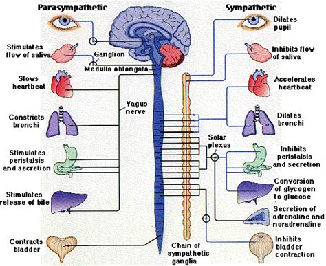 section 35 3 divisions of the nervous system human physiology neurons the nervous system ii