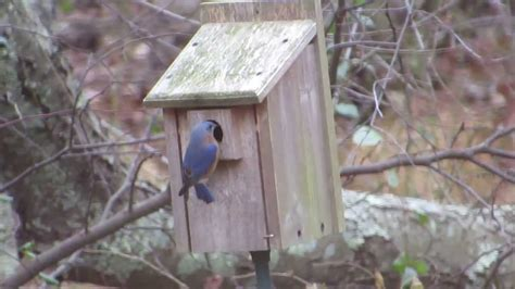 house finch birdhouse bluebirds house finches investigating birdhouse in n j youtube