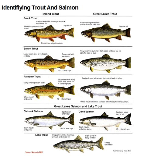 what is the difference beween salmon and sea trout use these charts to confidently id trout salmon species
