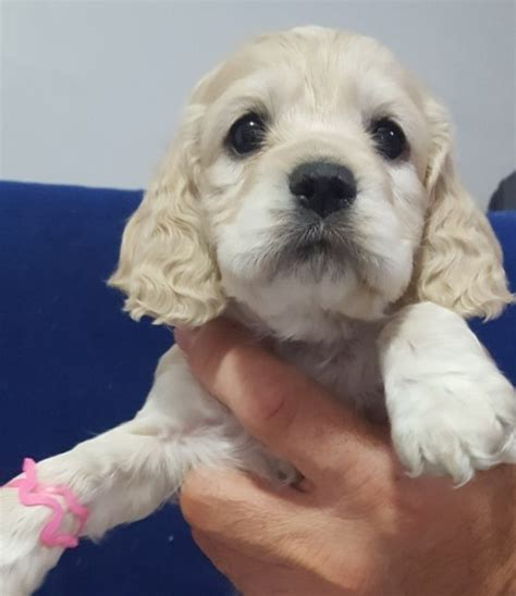 puppy finder ma view ad cocker spaniel puppy for sale massachusetts springfield