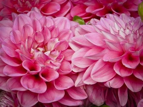 pink dahlias jpeg the gallery for gt pink dahlia flower bouquet